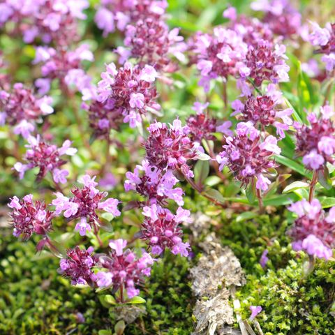 close up of wild thyme flowers   ground cover plants