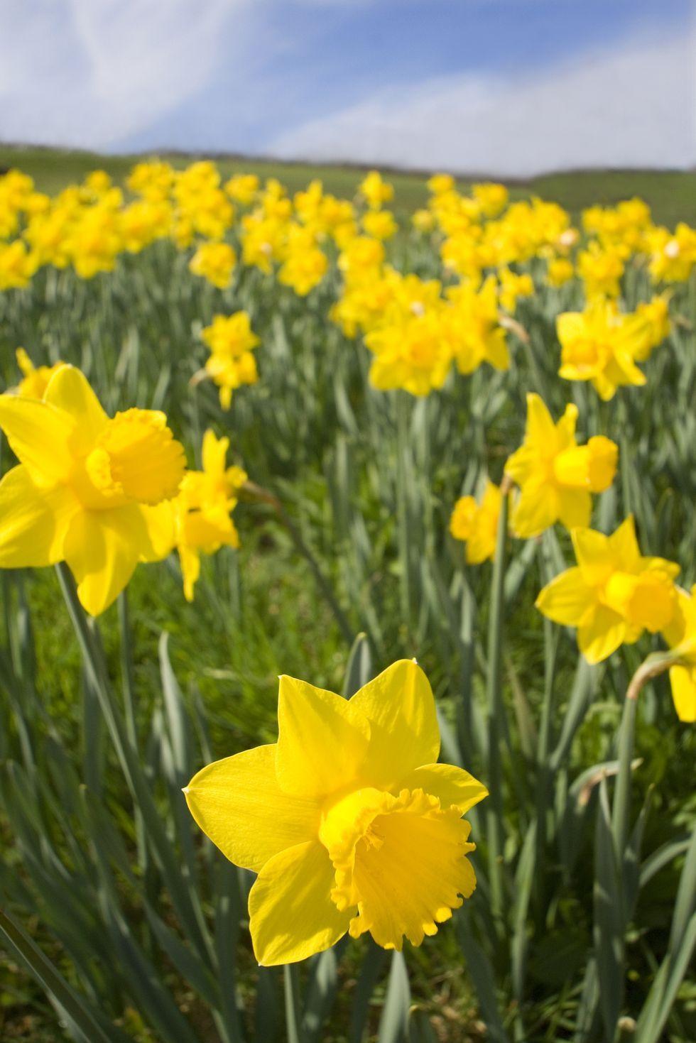 Narcisos - Significados de la flor