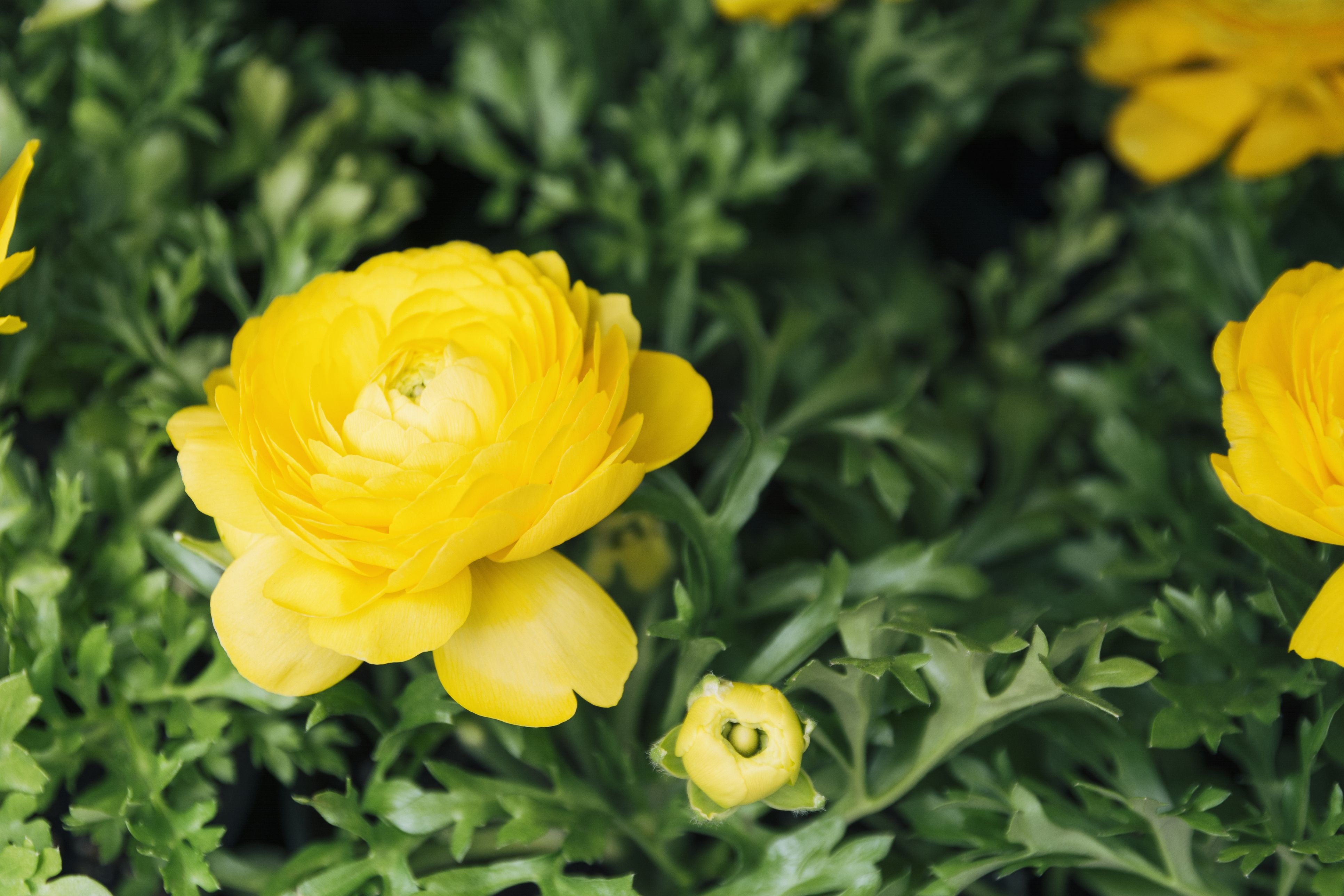 25 Yellow Flowers For Gardens Perennials Annuals With Yellow