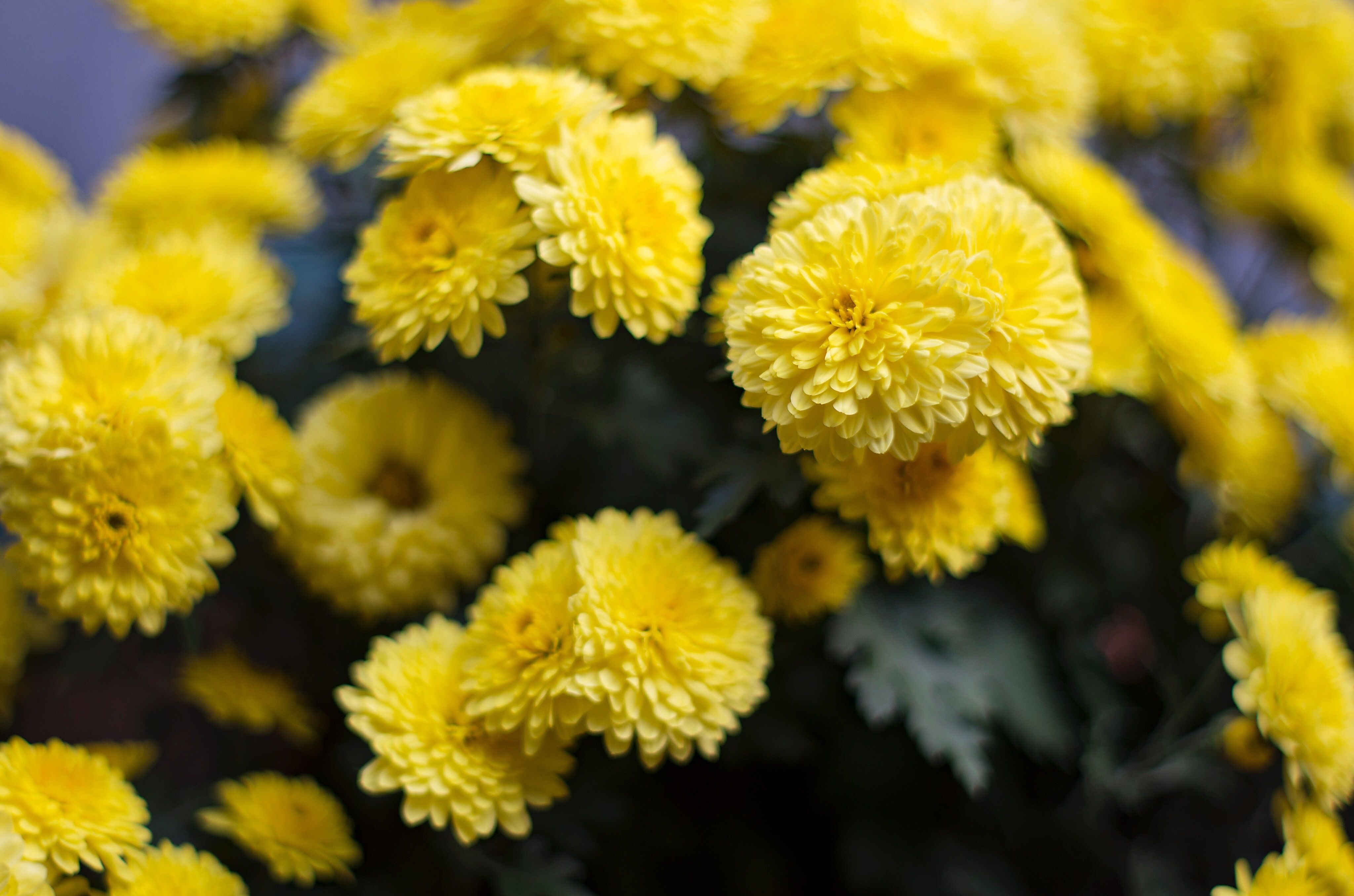 20 Yellow Flowers For Gardens Perennials Annuals With Yellow