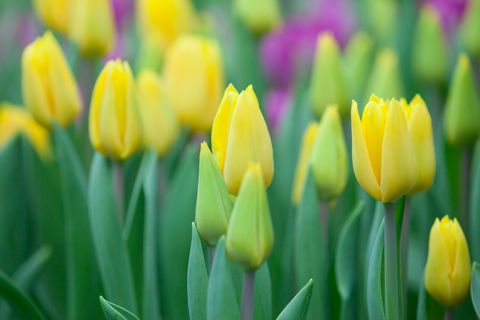 Close-up of yellow tulips