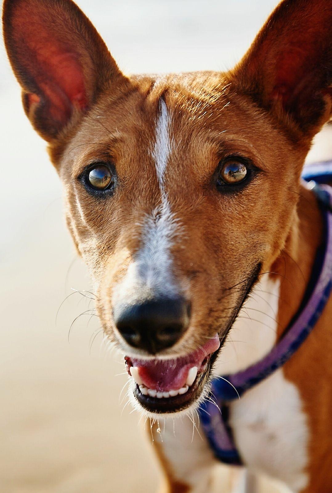 Basenji Dog At Beach Close-Up