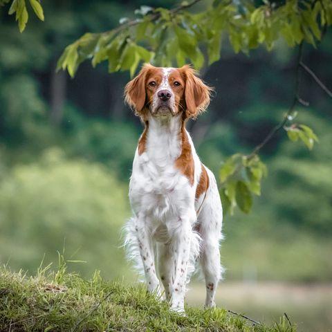 close up portrait of brittany spaniel female dog portrait