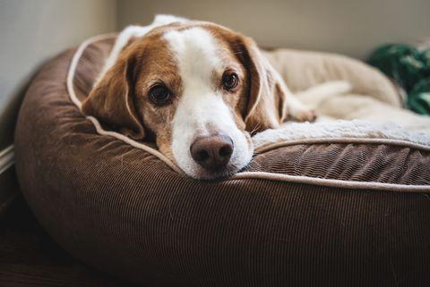 gros plan, portrait, de, chien, coucher