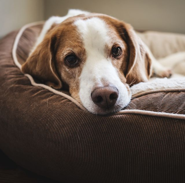 your dog could get paid £100 to test luxury pet beds