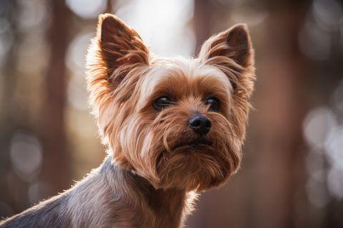 Close up portrait d'un chien Yorkshire Terrier