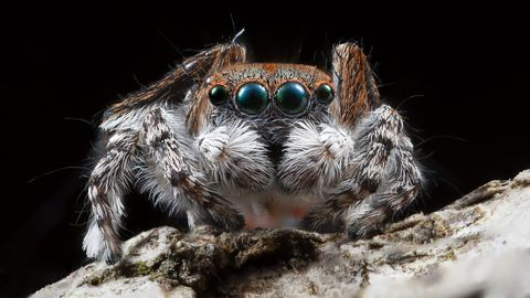 A close up shot of a male Maratus pardus peacock jumping spider.