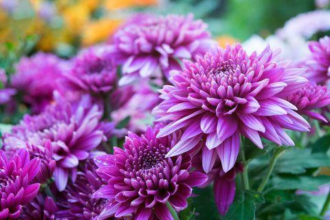 Soft purple Chrysanthemum flowers