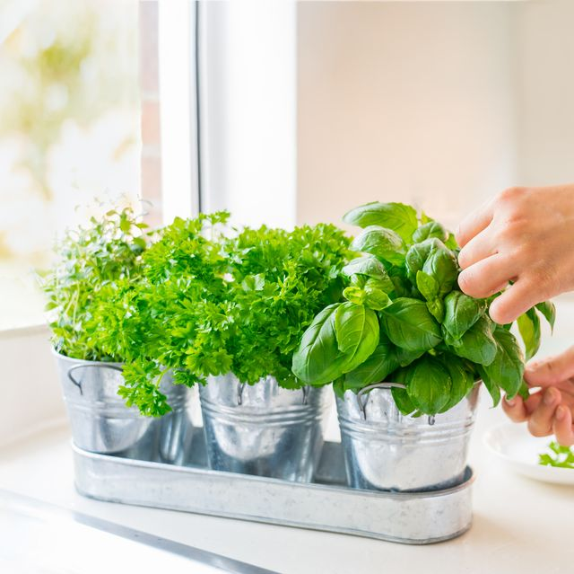 close up woman's hand picking leaves of basil greenery home gardening on kitchen pots of herbs with basil, parsley and thyme home planting and food growing sustainable lifestyle, plant based food