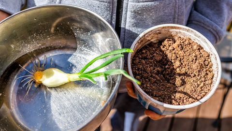 closeup of person holding green onion sprout with small roots in stainless steel bowl with water gardening planting into small soil container