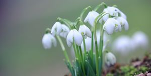 A clump of snowdrops