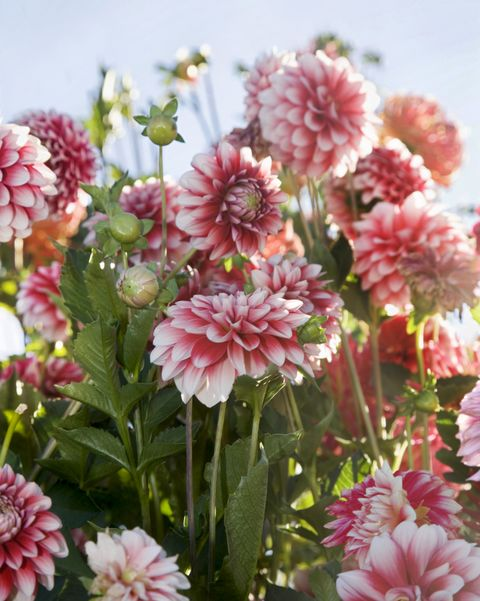 paint by numbers dahlia