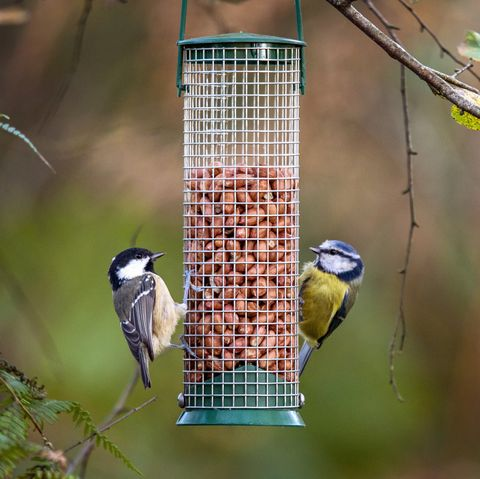 Coal Tit And Blue Tit Feeding On Peanuts In Bird Feeder