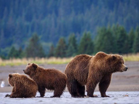 Coastal brown bear, or Grizzly Bear, female and cubs. South Central Alaska.