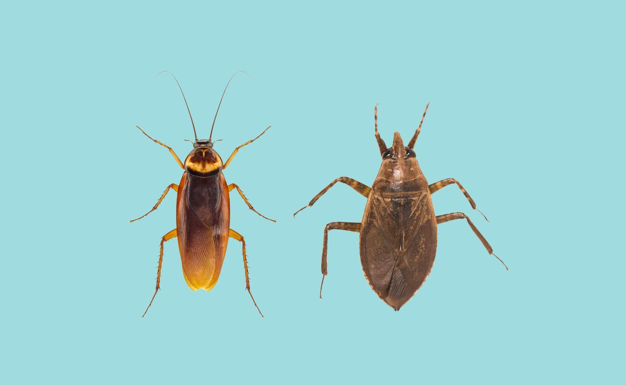 Water Bugs Vs Cockroaches How To Tell The Difference Kill Them