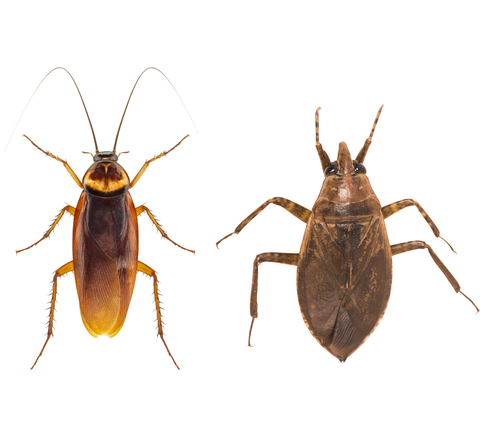 What's the Difference Between a Cockroach vs. a Water Bug? Here's How to ID Both