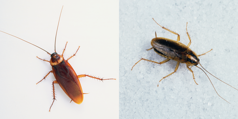 Do Cockroaches Bite? Not Really, But They Can Cause Serious Health Problems