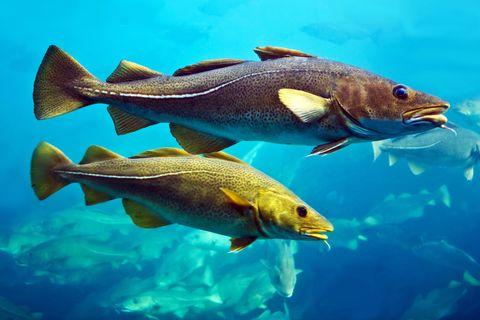 cod fishes floating in aquarium, alesund, norway