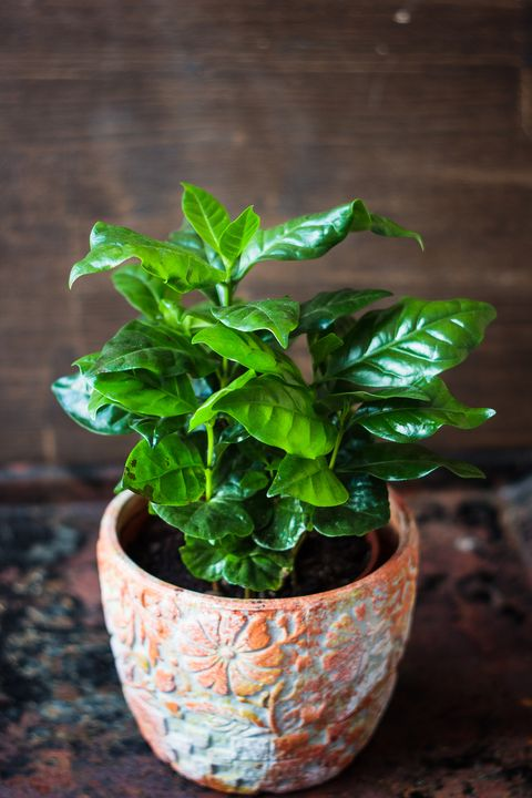 Coffea arabica - coffee plant in a flower pot.