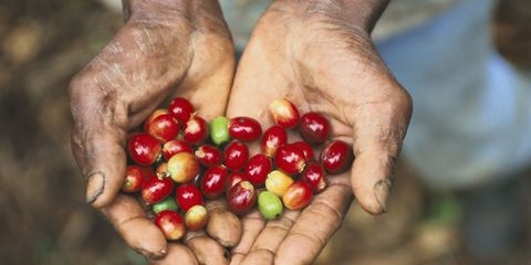 Coffee Seeds In Cuba -