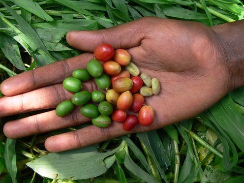 Arabica coffee fruits, southwest Ethiopia.