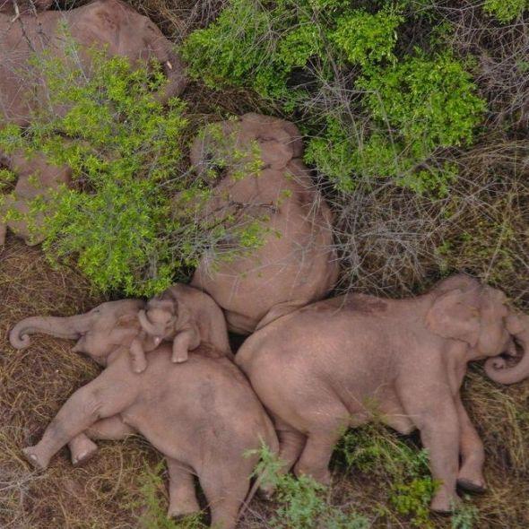 這畫面太療癒!雲南象群北遷長征百餘公里,倒地睡覺、河裡打水仗⋯15頭野象超萌圖輯