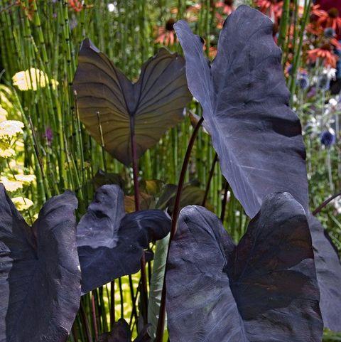 Colocasia Black Magic