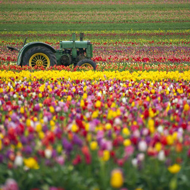colourful tulip field
