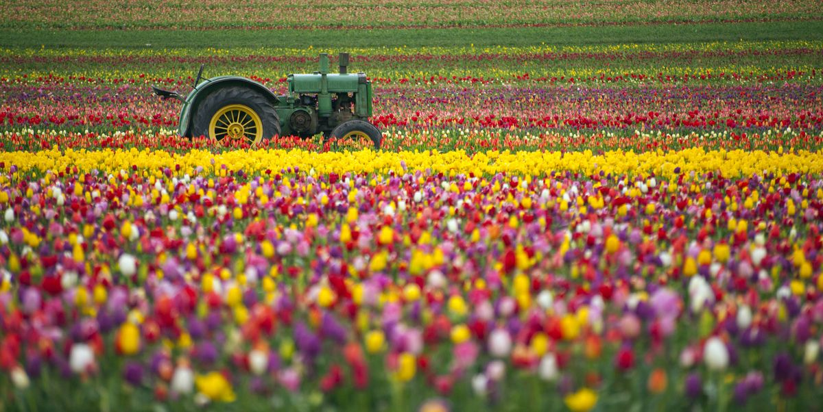 Top 10 flower fields to visit in the UK this summer