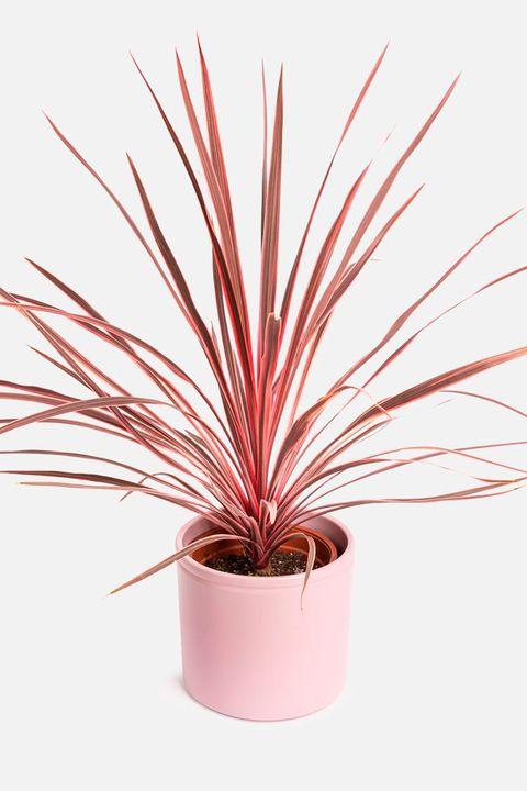 planta de colvin