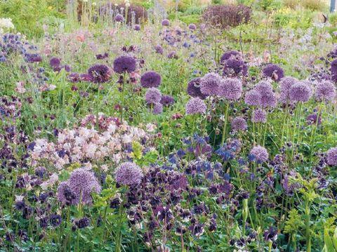 Plant, Purple, Flower, Plant community, Lavender, Shrub, Garden, Botany, Flowering plant, Groundcover,