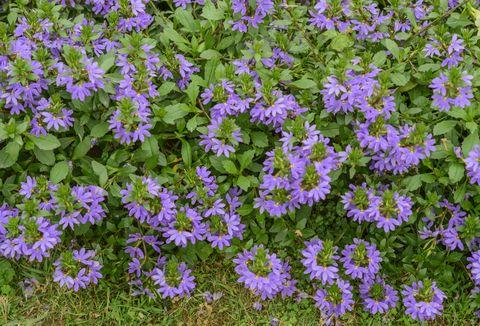 Common Fan-Flower