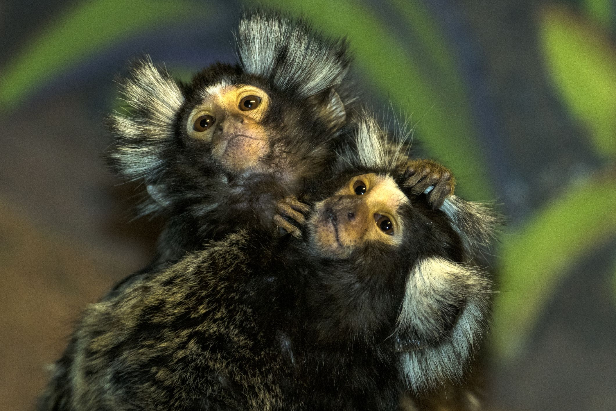Weirdly, Monkeys Keep Domesticating Themselves. Huh.