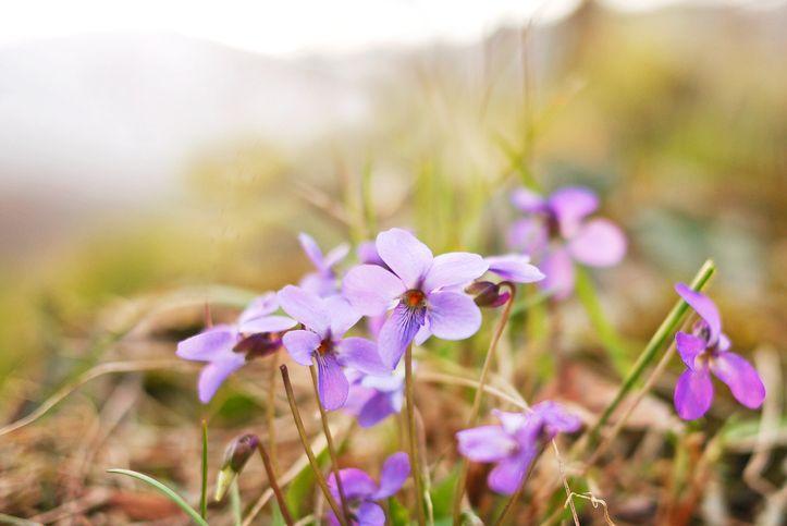 44. Wood Violet - Wisconsin
