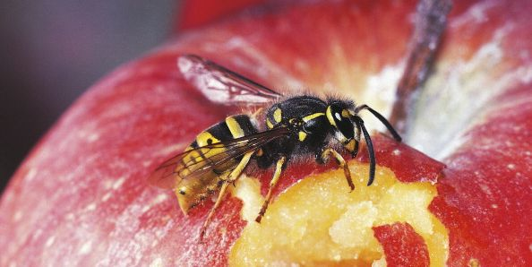 Common wasp...