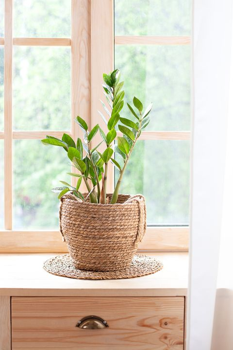concept of home gardening. Zamioculcas in flowerpot on windowsill. Home plants on the windowsill.  Green Home plants in a pot on windowsill at home. Hygge. Boho. Rustic. Scandinavian. space for text