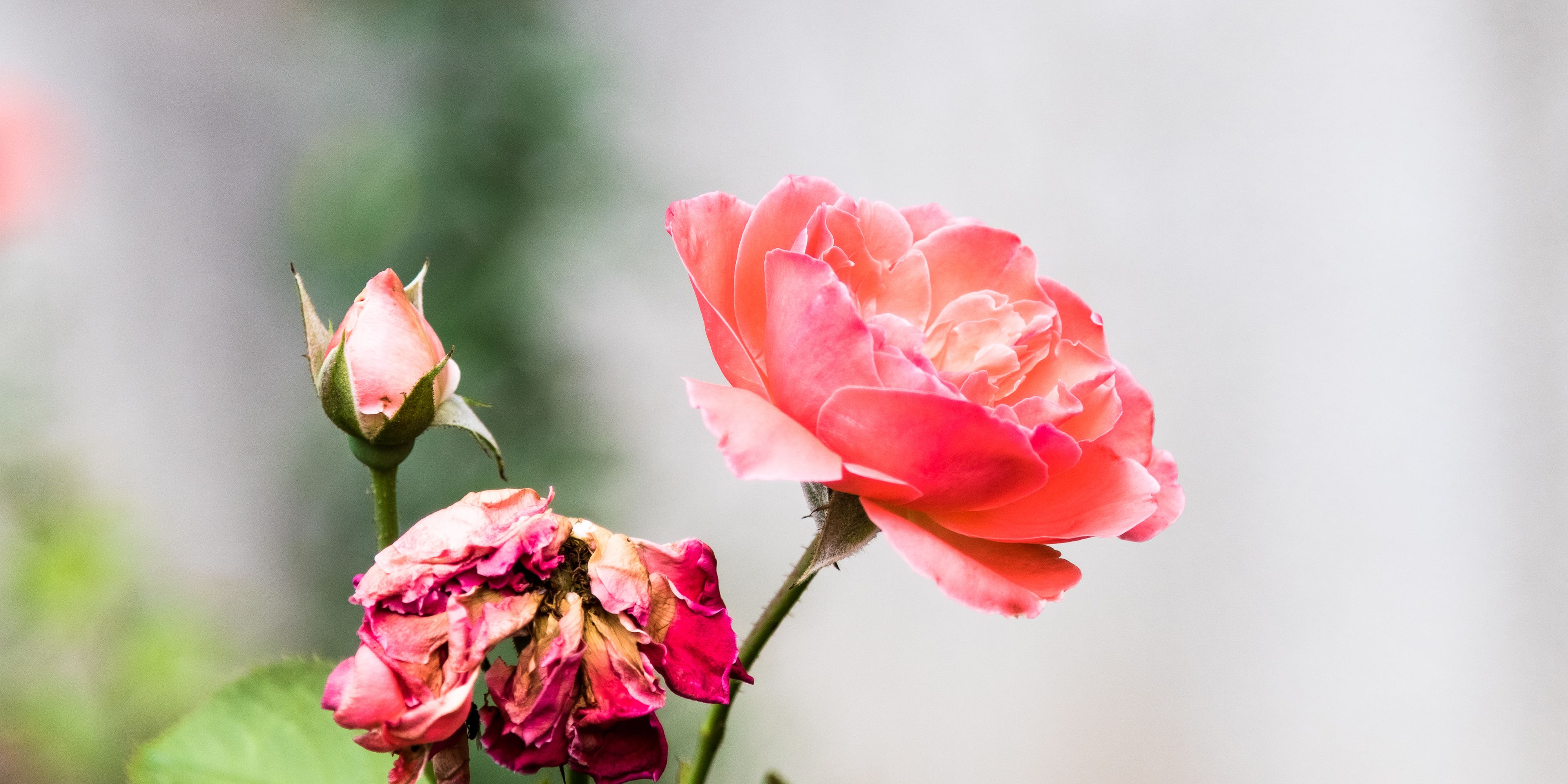 Conceptual Close-Up Of Pink Roses With Copy Space
