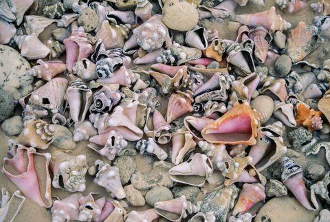 Conch shells of genus Strombus