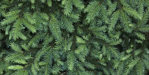 Coniferous tree, close-up