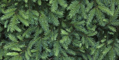 Coniferous tree, close-up