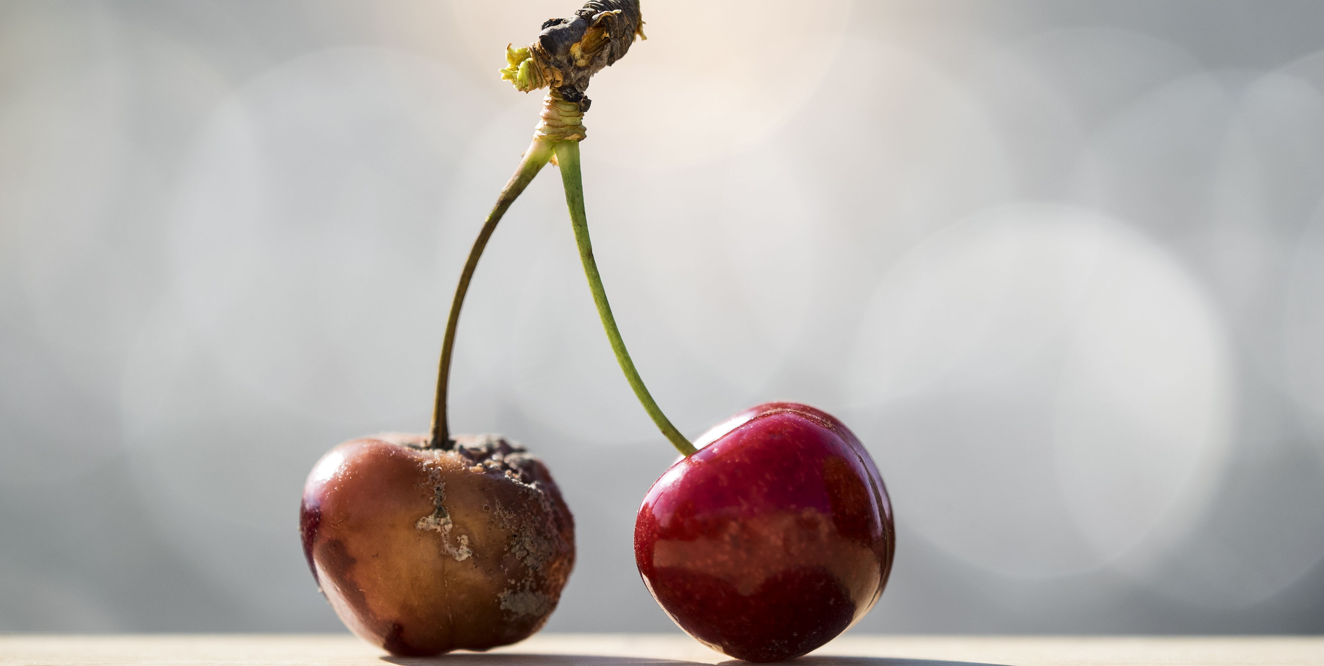 Contrast between two cherries, one matures with mildew and rotten and another fresh air and juicy