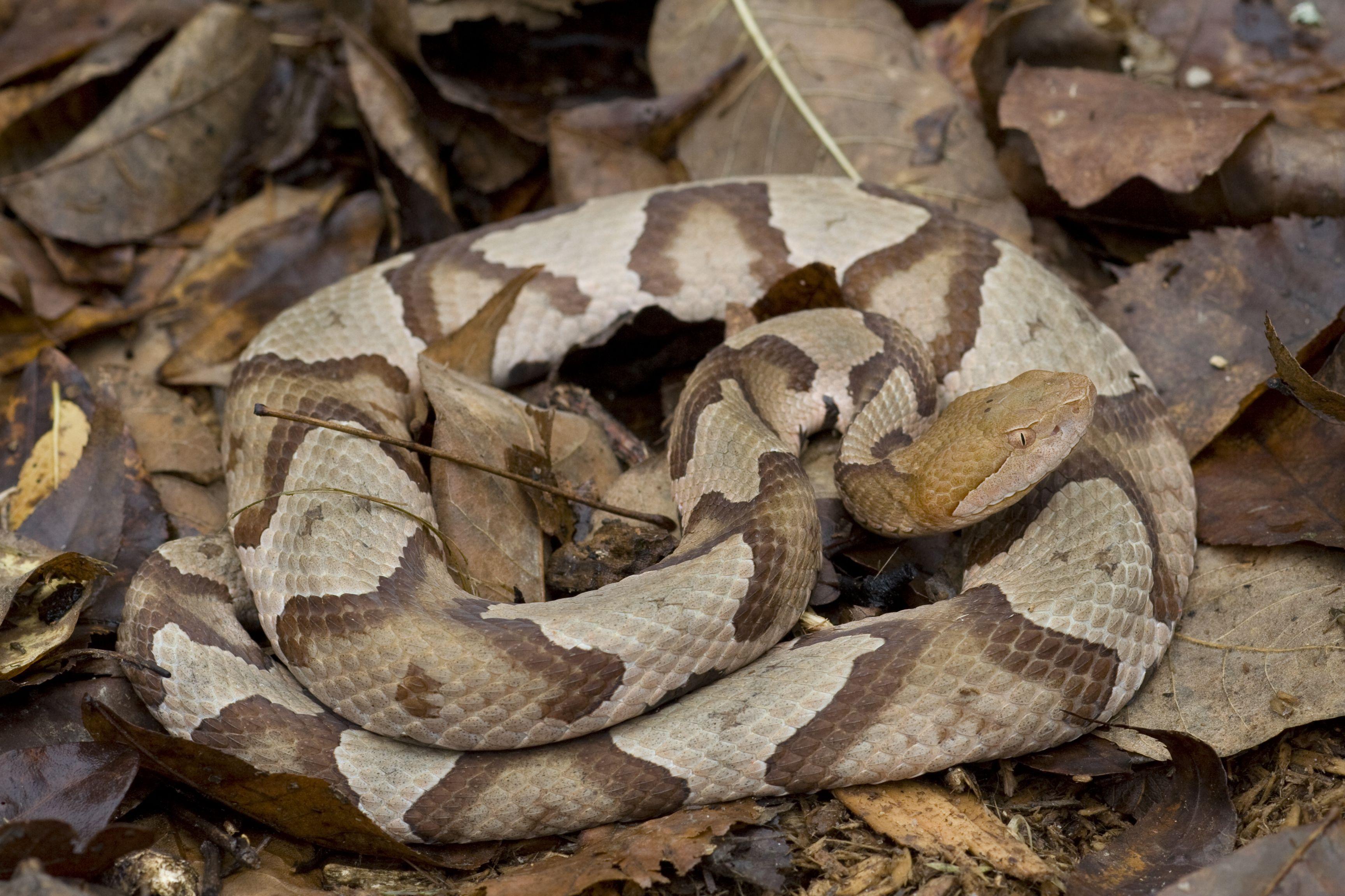 venomous copperhead snakeagkistrodon contortrix