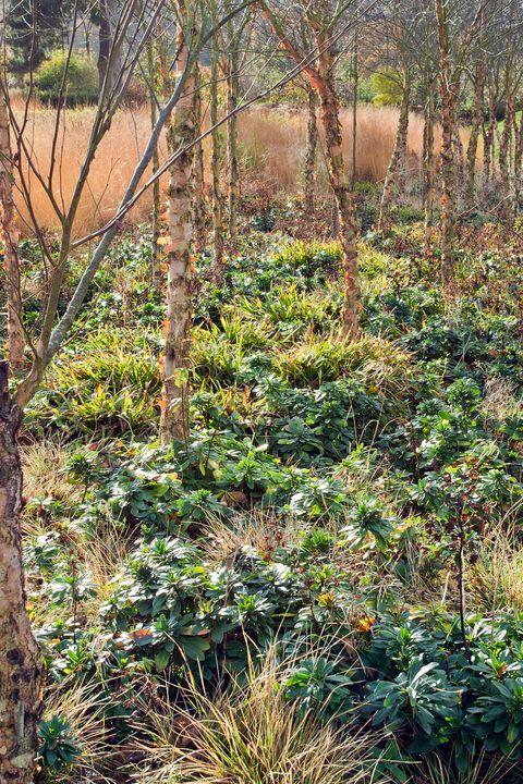Copse of Trees Betula Nigra Black Birch