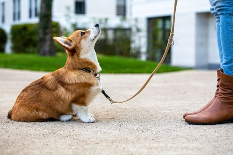 dog training, corgi puppy sit in front of a woman, looking up