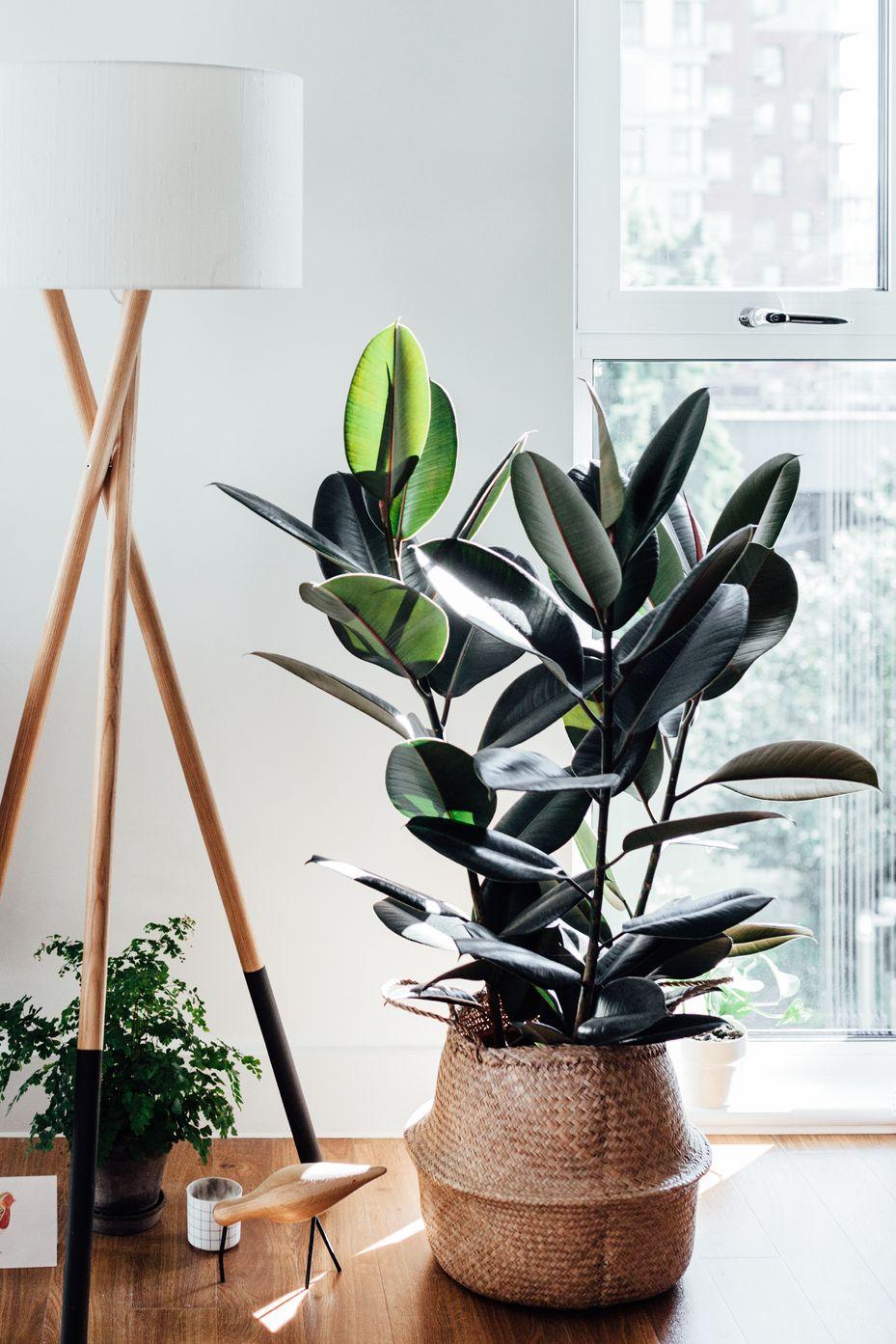 rubber plant tanaman karet beringin karet