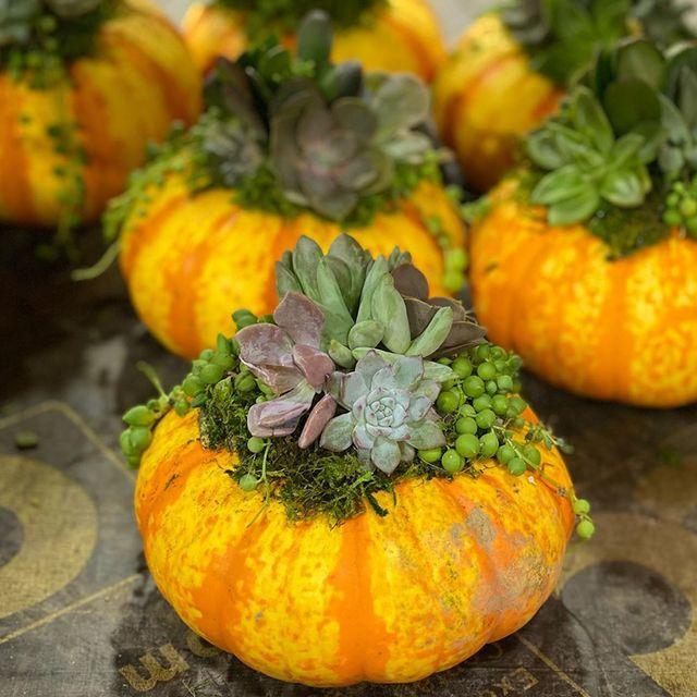 costco succulent garden in real pumpkins