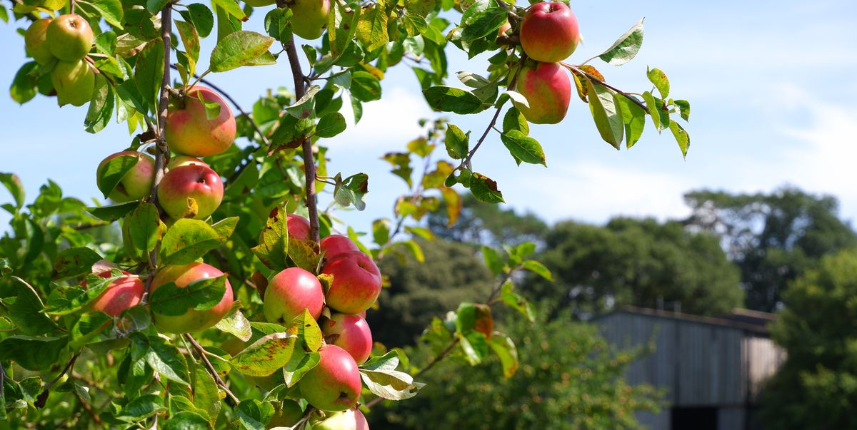 This year will see a bumper crop of sweet apples