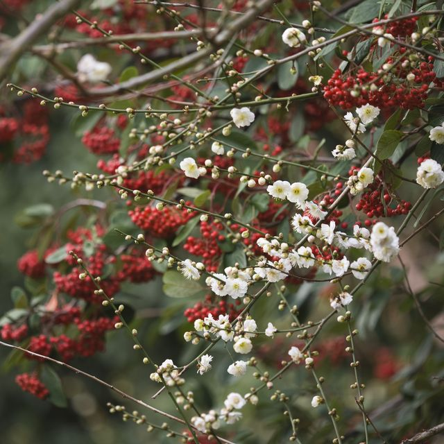 """""""super plant"""" cotoneaster can absorb roadside air pollution, says the rhs"""
