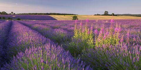 Flower, Flowering plant, Lavender, English lavender, Plant, Lavender, Purple, Field, Prairie, French lavender,