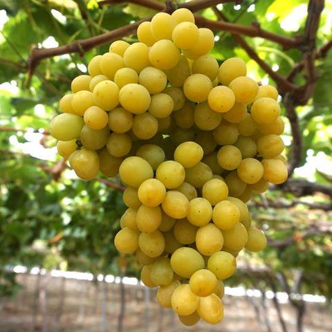 Fruit tree, Fruit, Plant, Grape, Seedless fruit, Food, Flower, Grapevine family, Flowering plant, Tree,